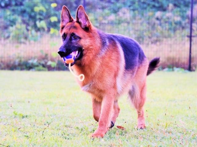 大型犬の同行避難を考える_d0360206_00592299.jpg