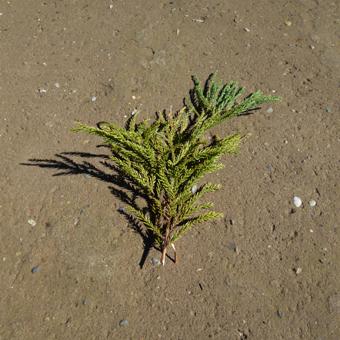杉の葉っぱをかざりました。_c0195909_14515646.jpg