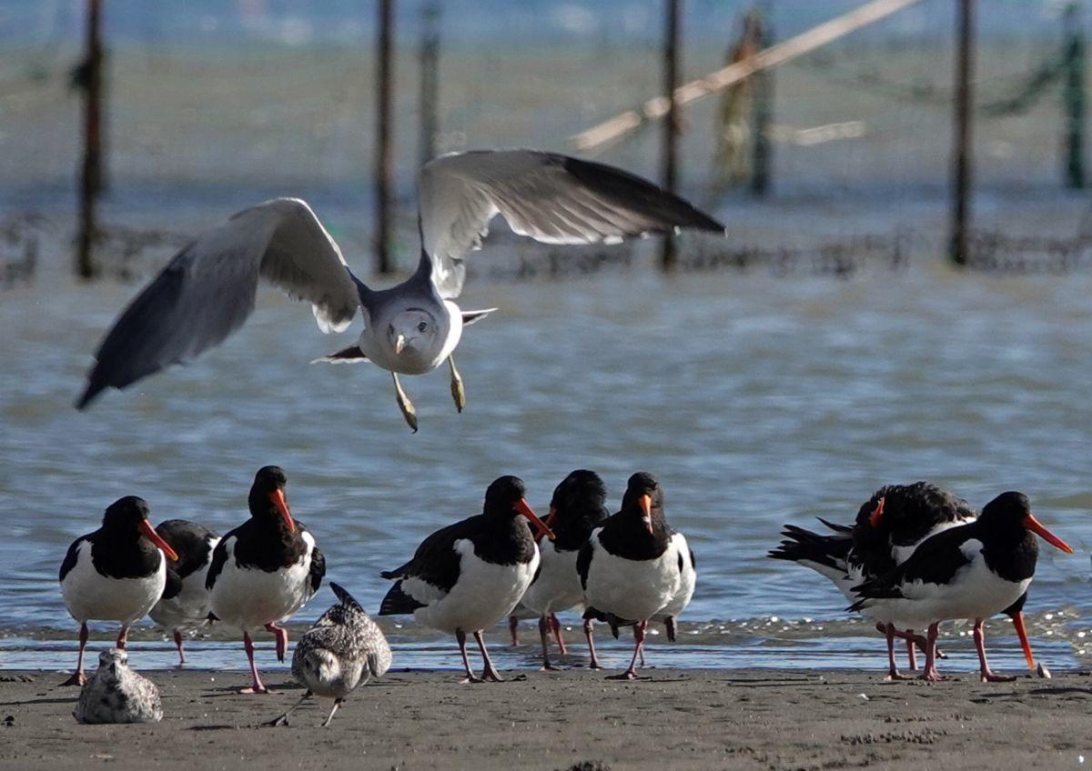 三番瀬の鳥たち_c0104227_21473117.jpg