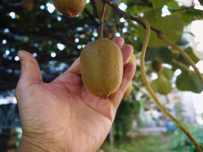 水源キウイ 今年も完全無農薬で順調に育っています!令和元年の収穫及び出荷は11月中旬(予定)です!!_a0254656_16294062.jpg