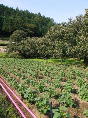 水源キウイ 今年も完全無農薬で順調に育っています!令和元年の収穫及び出荷は11月中旬(予定)です!!_a0254656_16404363.jpg
