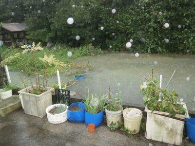 台風被害と白菜の植え付け_f0018078_17580346.jpg