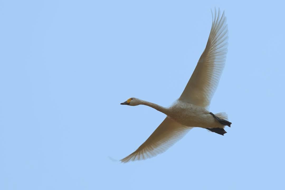 新・さらば白鳥w_e0403850_16531899.jpg