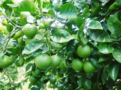 種なしかぼす(無農薬栽培) 青いかぼすは今が最旬!大好評販売中!かぼすの栄養とダイエット効果!_a0254656_17195292.jpg