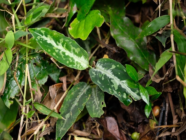 "Aglaonema pictum\""ちゃんぷーる\""HD from Aceh barat【AZ1019-2a】_a0067578_15421582.jpg"
