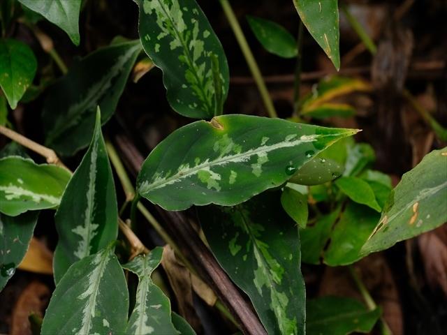 "Aglaonema pictum\""ちゃんぷーる\""HD from Aceh barat【AZ1019-2b】_a0067578_16013746.jpg"