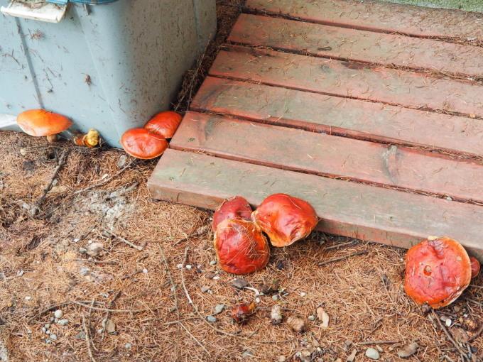 エゾリスと茸にシクラメン・・台風一過で冷え込み秋が深まります。_f0276498_23145499.jpg