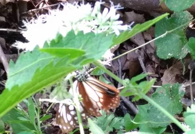 アサギマダラの飛来と林道整備_c0239329_17594635.jpg