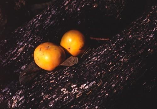 赤い柿の実_f0055131_09182963.jpg