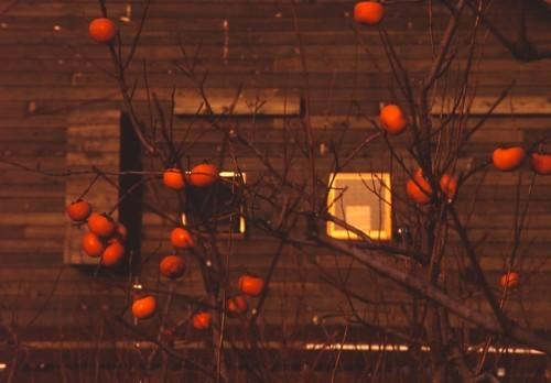 赤い柿の実_f0055131_09183841.jpg