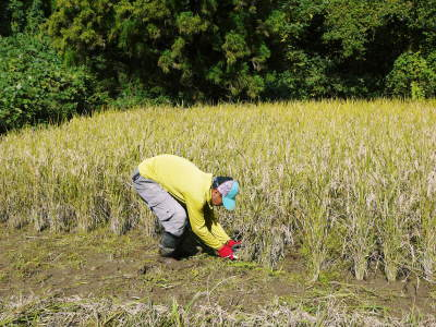 米作りの挑戦(2020) 稲刈りの様子!今年の問題点と来年へむけての課題!(後編)_a0254656_18480451.jpg