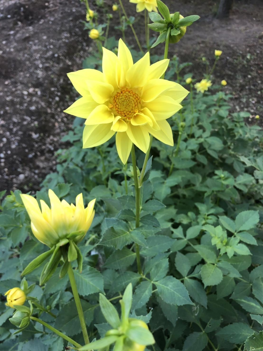 ダリアの花が復活ー♪_b0328361_22182436.jpg