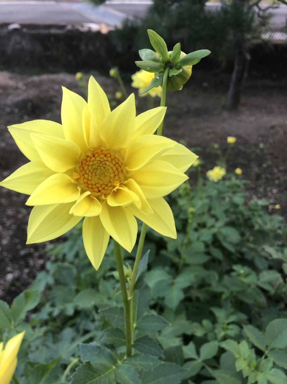 ダリアの花が復活ー♪_b0328361_22183425.jpg