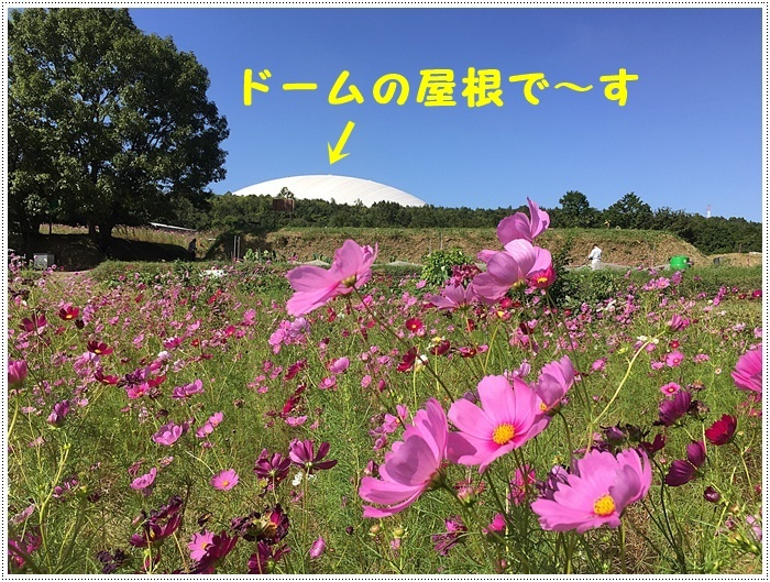 コスモスは大好きな花、42年前のブーケもコスモスだったんだわ~( *´艸`)クスクス_b0175688_23345776.jpg
