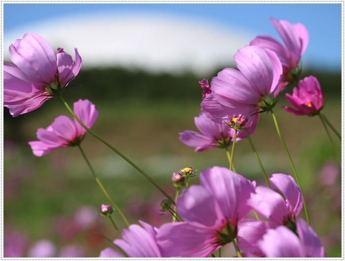 コスモスは大好きな花、42年前のブーケもコスモスだったんだわ~( *´艸`)クスクス_b0175688_23350657.jpg