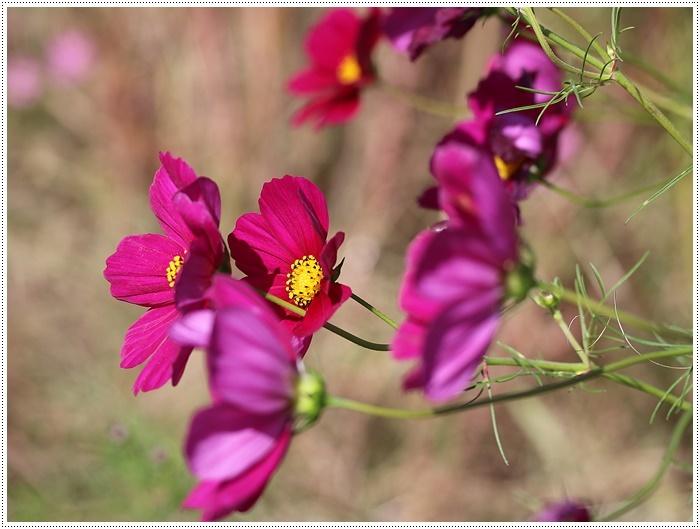 コスモスは大好きな花、42年前のブーケもコスモスだったんだわ~( *´艸`)クスクス_b0175688_23351417.jpg
