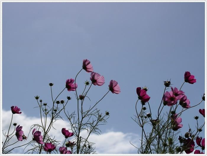 コスモスは大好きな花、42年前のブーケもコスモスだったんだわ~( *´艸`)クスクス_b0175688_23351979.jpg