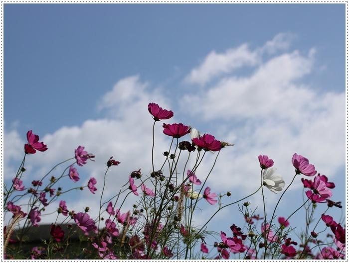 コスモスは大好きな花、42年前のブーケもコスモスだったんだわ~( *´艸`)クスクス_b0175688_23352330.jpg