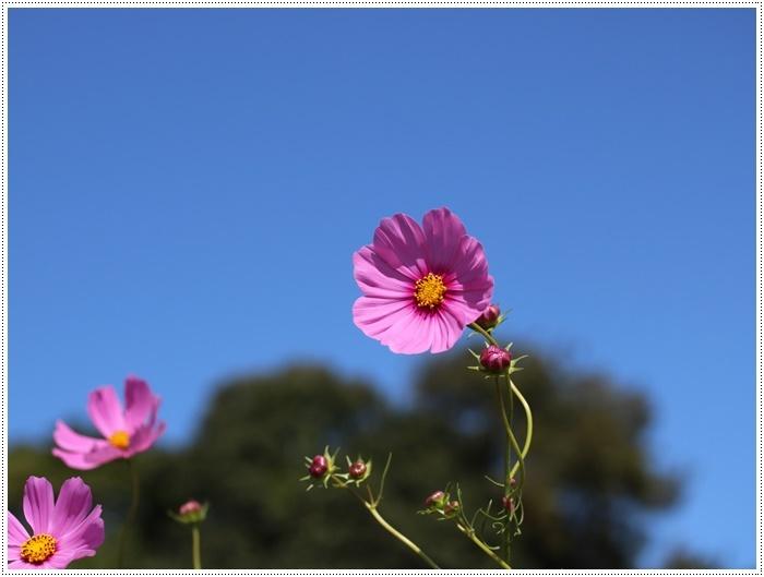 コスモスは大好きな花、42年前のブーケもコスモスだったんだわ~( *´艸`)クスクス_b0175688_23352705.jpg