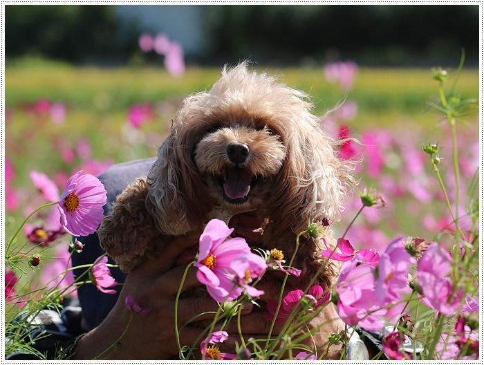 コスモスは大好きな花、42年前のブーケもコスモスだったんだわ~( *´艸`)クスクス_b0175688_23392007.jpg