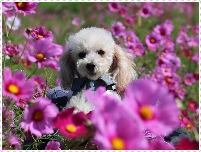 コスモスは大好きな花、42年前のブーケもコスモスだったんだわ~( *´艸`)クスクス_b0175688_23392481.jpg