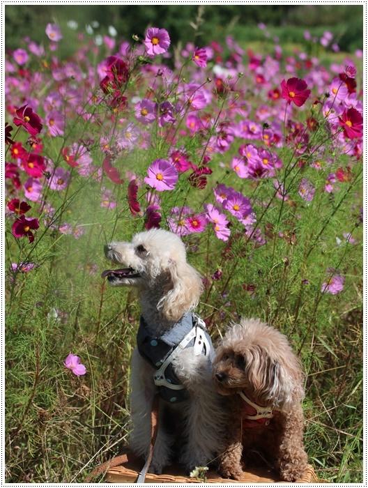 コスモスは大好きな花、42年前のブーケもコスモスだったんだわ~( *´艸`)クスクス_b0175688_23392793.jpg