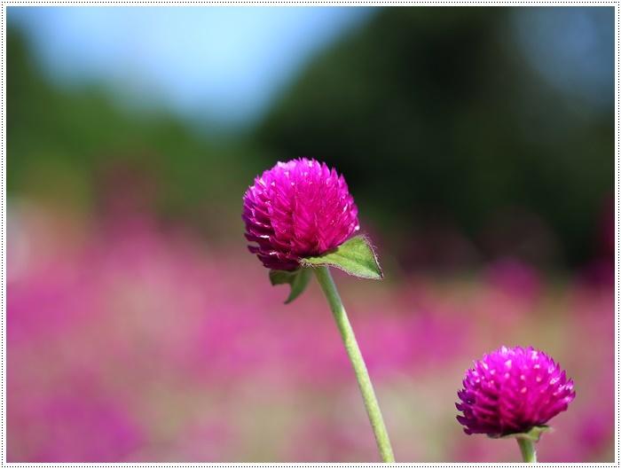 コスモスは大好きな花、42年前のブーケもコスモスだったんだわ~( *´艸`)クスクス_b0175688_23430708.jpg