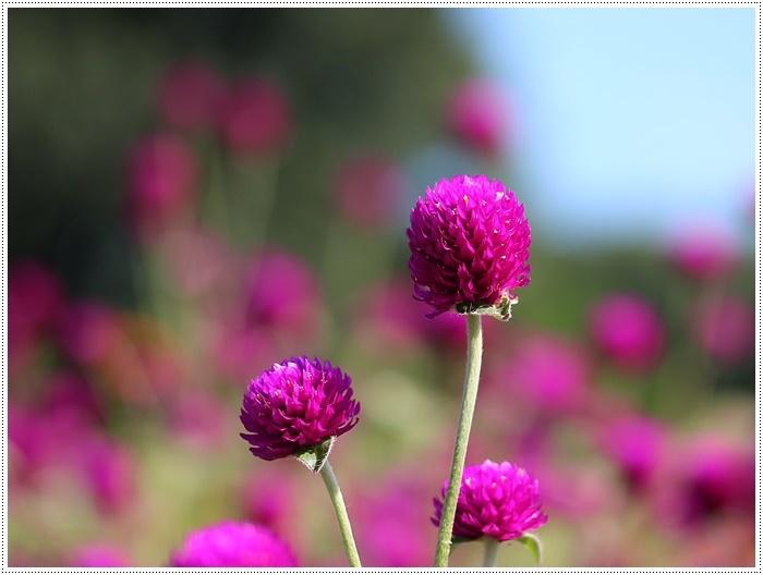 コスモスは大好きな花、42年前のブーケもコスモスだったんだわ~( *´艸`)クスクス_b0175688_23431126.jpg