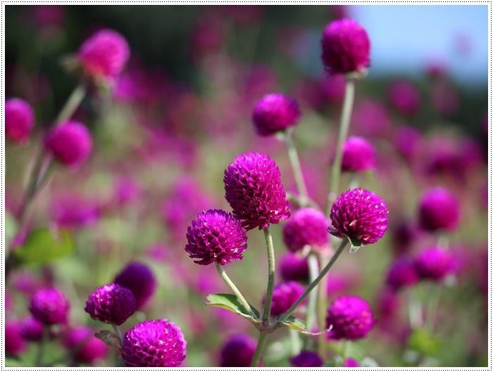 コスモスは大好きな花、42年前のブーケもコスモスだったんだわ~( *´艸`)クスクス_b0175688_23431886.jpg