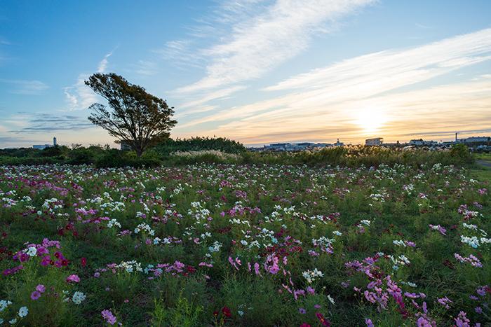 イシックス馬入のお花畑のコスモス_b0145398_23225485.jpg