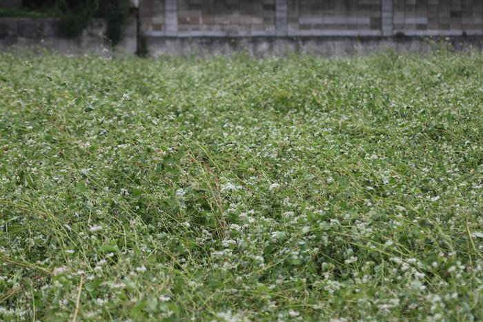 MFのそば畑にノビタキが姿を見せた その2_f0239515_16451269.jpg