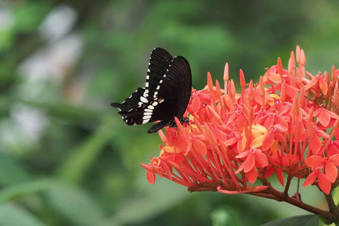 紅い花に吸蜜 シロオビアゲハ_d0149245_23122709.jpg