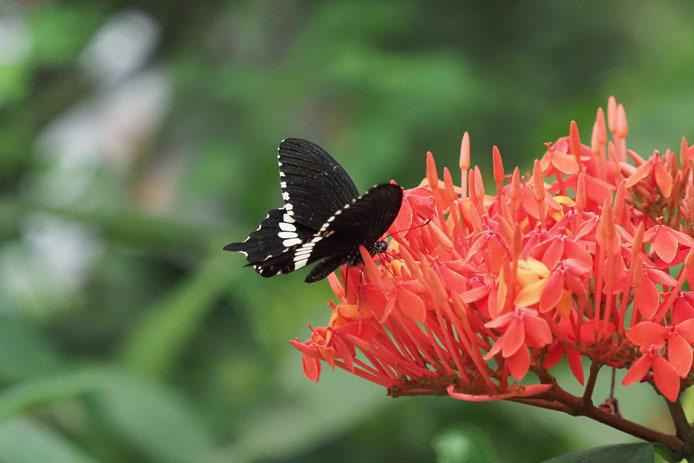 紅い花に吸蜜 シロオビアゲハ_d0149245_23123397.jpg