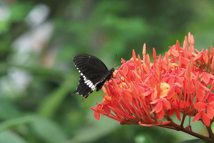 紅い花に吸蜜 シロオビアゲハ_d0149245_23123600.jpg