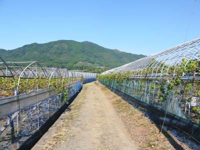 熊本ぶどう 社方園 収穫を終えたぶどう園にお礼肥えです!鹿本農業高校から来た実習生と共に(2019)前編_a0254656_17095771.jpg