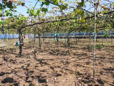 熊本ぶどう 社方園 収穫を終えたぶどう園にお礼肥えです!鹿本農業高校から来た実習生と共に(2019)前編_a0254656_17190767.jpg