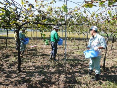 熊本ぶどう 社方園 収穫を終えたぶどう園にお礼肥えです!鹿本農業高校から来た実習生と共に(2019)前編_a0254656_17454216.jpg