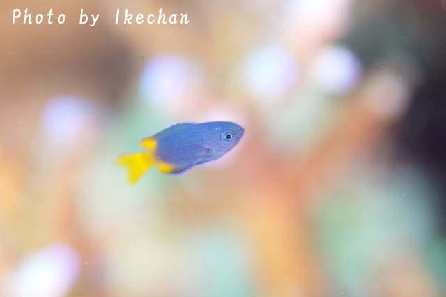 やっぱ自慢だ ~フィリピンスズメダイ幼魚~_a0155467_19282634.jpg