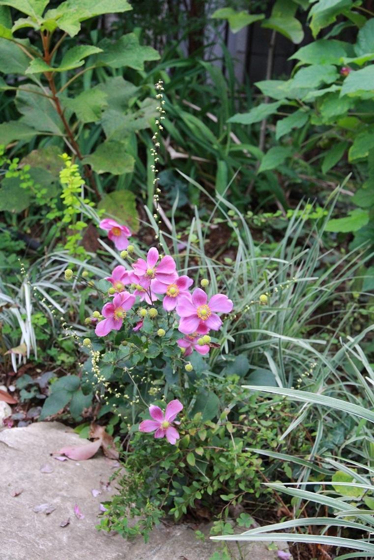 ピンクのシュウメイギク&白花のミズヒキ_a0107574_15514519.jpg