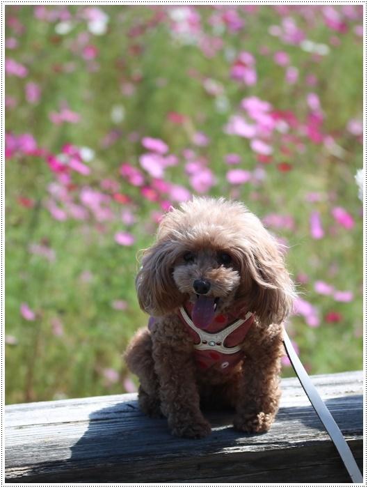 コスモスは大好きな花、42年前のブーケもコスモスだったんだわ~( *´艸`)クスクス_b0175688_00005767.jpg