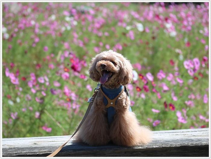 コスモスは大好きな花、42年前のブーケもコスモスだったんだわ~( *´艸`)クスクス_b0175688_00010117.jpg