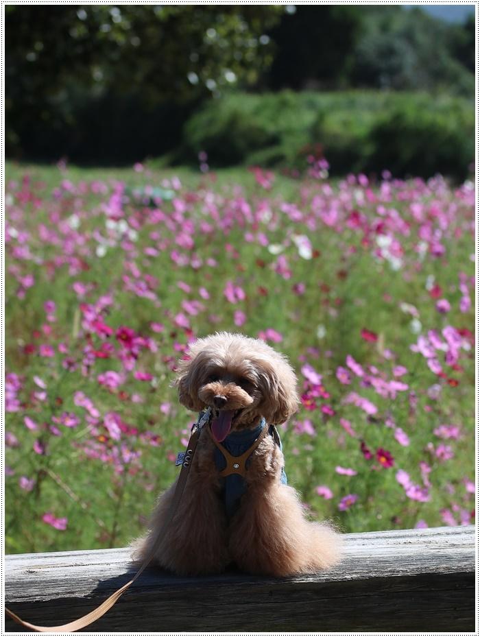 コスモスは大好きな花、42年前のブーケもコスモスだったんだわ~( *´艸`)クスクス_b0175688_00010557.jpg