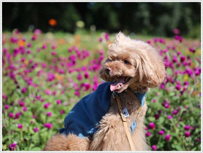 コスモスは大好きな花、42年前のブーケもコスモスだったんだわ~( *´艸`)クスクス_b0175688_00011136.jpg