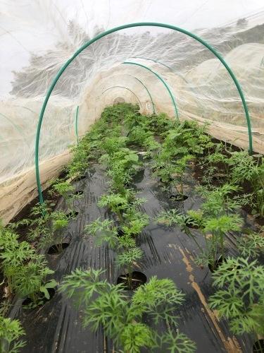 茄子&カボチャ&ズッキーニの畝を全て片付け枯れ枝をすべて燃やし・・葉物収穫_c0222448_18034680.jpg