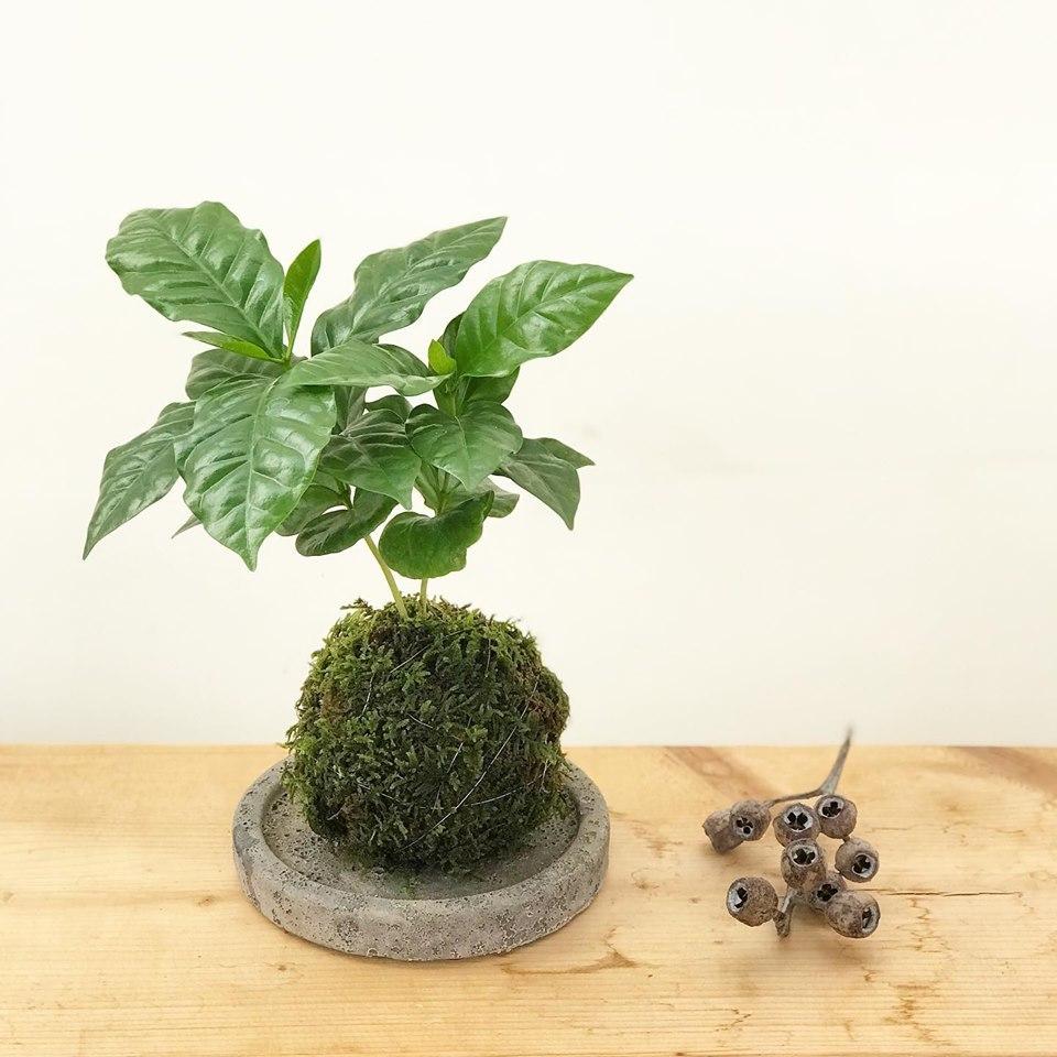 コーヒーの木苔玉ワークショップ_f0220152_17503366.jpg