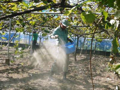 熊本ぶどう 社方園 収穫を終えたぶどう園にお礼肥えです!鹿本農業高校から来た実習生と共に(2019)後編_a0254656_17405260.jpg