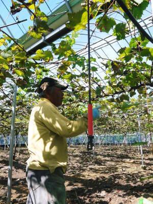 熊本ぶどう 社方園 収穫を終えたぶどう園にお礼肥えです!鹿本農業高校から来た実習生と共に(2019)後編_a0254656_17505352.jpg