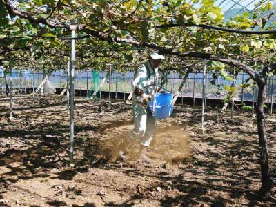 熊本ぶどう 社方園 収穫を終えたぶどう園にお礼肥えです!鹿本農業高校から来た実習生と共に(2019)後編_a0254656_17555791.jpg