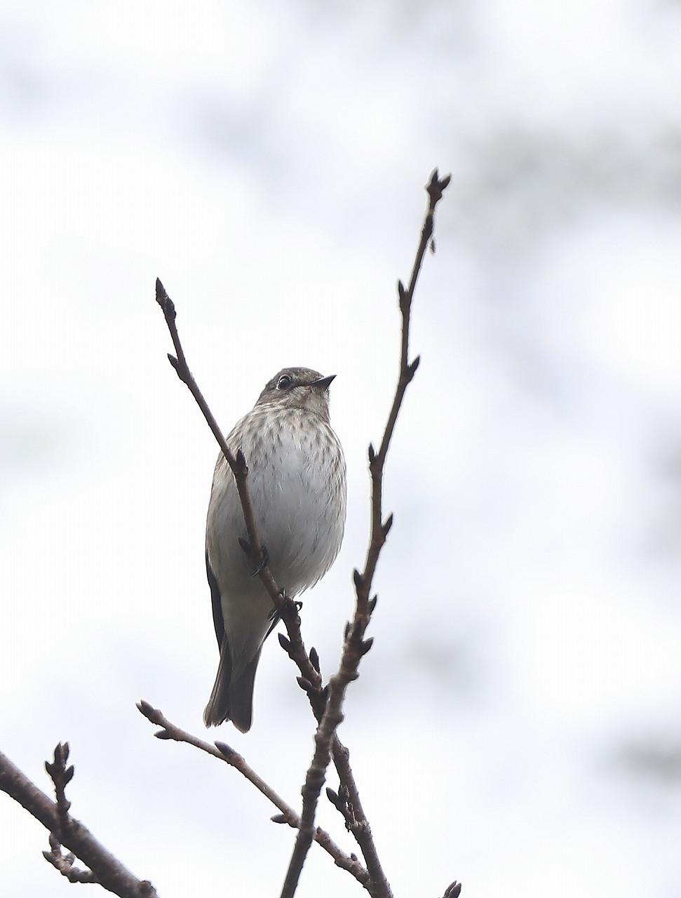 ミズキの木に集まる野鳥_f0296999_17051302.jpg