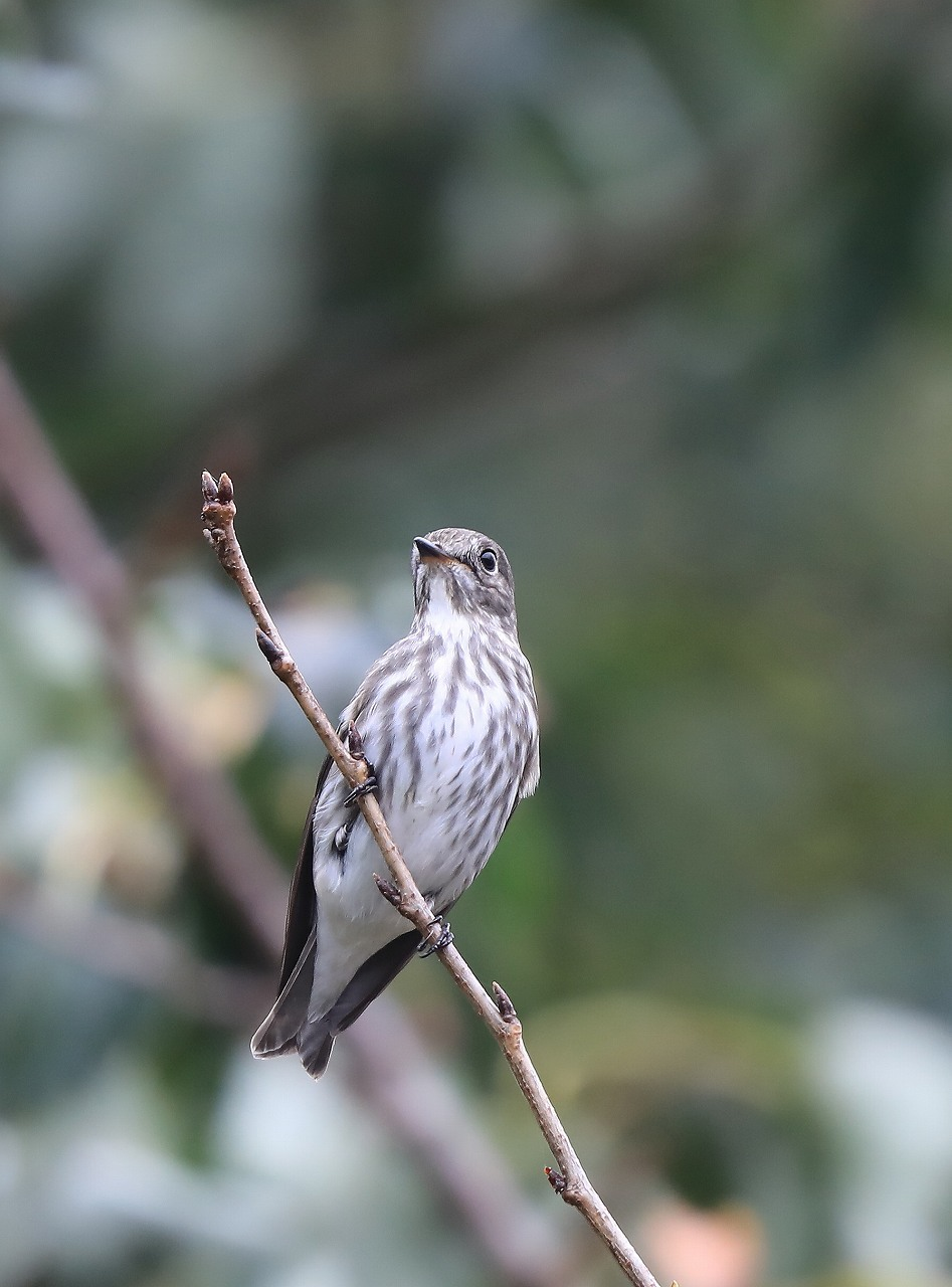 ミズキの木に集まる野鳥_f0296999_17052007.jpg